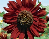 Organic Sunflower Velvet Queen Heirloom Flower Seeds