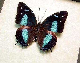 Real Framed Baeotus Japetus The Japetus Beauty Butterfly 517