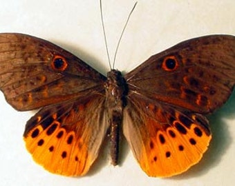 Real Rare Eurybia Juturna Orange Rainforest Framed Butterfly 8260