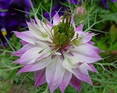 Love In A Mist Seed // Mix of Pink and Purple Shades // 100 Nigella Damascena Seeds // Organic & Non GMO
