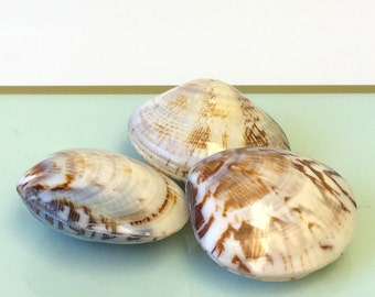"Seashells - 3 Polished Brown and White Clam Shells 1"" - 1.5"" craft shells/wedding shells/bulk shells"
