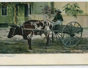 African American Black Woman Driving Ox Wagon 1910c Tuck postcard