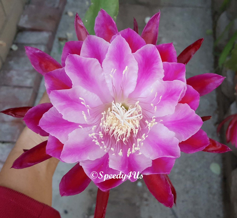 Ric Rac Cryptocereus Anthony Fragrant Epiphyllum Orchid Cactus