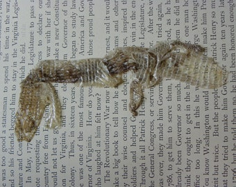 Cruelty Free No. 4 Alligator Lizard Skin Shed - 6
