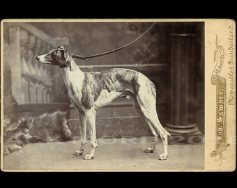 Superb 1890s Photo WHIPPET or GREYHOUND DOG by Royal Photographer