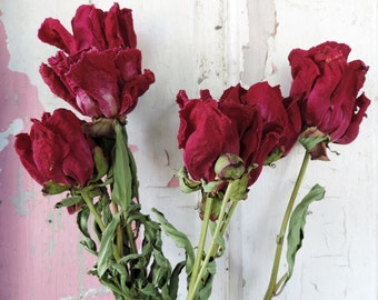 Dried Flowers Peonies Peony Bunch of 6 Large Size Maroon Leaves Natural Preserved Garden Floral Supplies Vintage Polka Dot Com