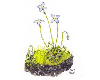 Spring Bluets, Watercolor Botanical Illustration, Art Print