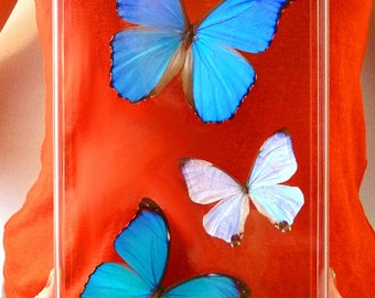 Three Morphos - Real Butterflies - 8x14 Acrylic Frame