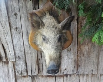 Vintage French Large Wild Boar Head Taxidermy Wall Mounted Statue Hunting Lodge Fireplace circa 1960's / English Shop