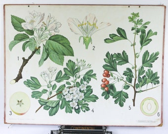 Vintage Botanical chart, Hawthorn and Apple Blossom