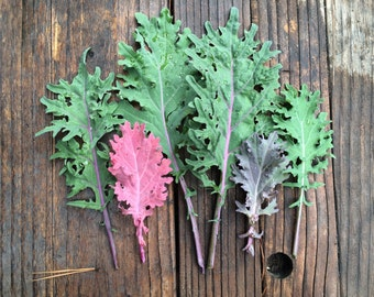SALE! Kale Red Russian Organic Heirloom Seed Popular Hardy Variety Excellent Fresh or Cooked