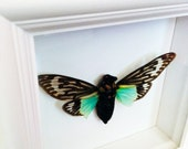 Real Cicada Insect Taxidermy Art - Insects, Bugs, Bug Art, Insect Art, Framed Insect, Bohemian, Entomology, Beetle, Entomology