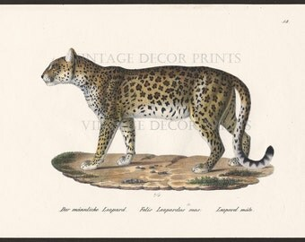 Leopard Print Original 1827 Engraving by Joseph Brodtmann for H.R.Schinz Hand Coloured Engraving Decorative Natural History Print