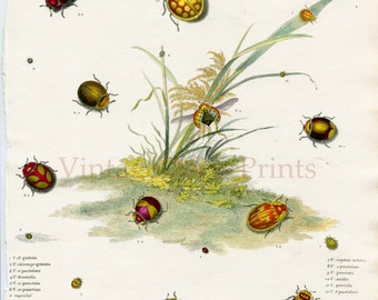 Lady Bird Beetles, Antique Insect print, Coleoptera From Rees Cyclopedia 1813. Hand coloured Entomology Print. Gift for Entomoloy Student.