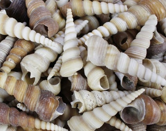 "Multipack 1.5""-3.5"" turitella shells seashell ocean beach nautical bulk wholesale Hawaii coastal decor"