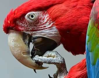 Parrot Photos, Photos of Greenwing Macaws, All sizes available, Red Parrot, Bird Photos, Macaw Photos, Red, blue, green, animal photos