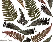 Pressed Japanese Painted Ferns and Autumn Ferns