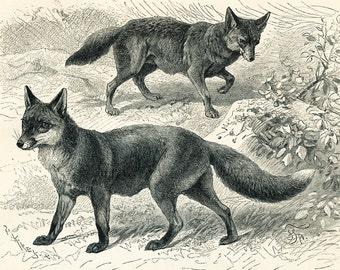 Fox print  wolf print  civet  mongoose  carnivores print predator animals print natural history : Antique 1890s engraving  old book plate