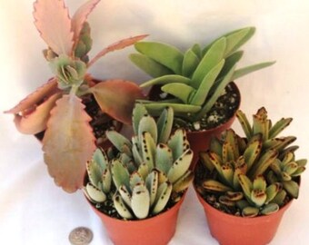"6 Succulent and/or other Miniature Assorted Plants - Fairy Gardens, Wedding, Guest Favors, Terrarium, Centerpieces ""FREE"" Shipping!!!"