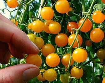 Gold Rush Currant, tiny wild tomato, 20 seeds, intense flavor, vigorous plants, ripens early, big harvest, tasty snack or elegant garnish