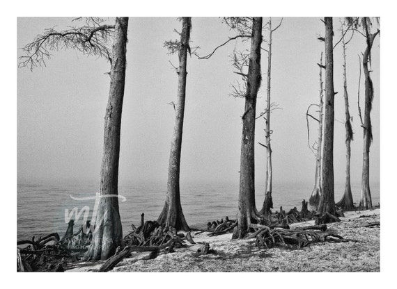 Black and White Photo, Cypress Trees Growing on the Beach of Lake Pontchartrain in Southern Louisiana