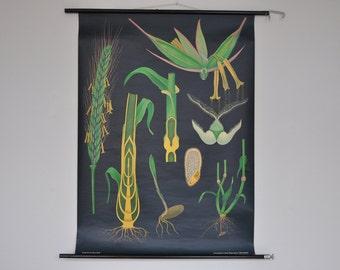 Original Pull Down School Chart. Rye.  Mid Century Botanical Print.  Jung Koch Quentell. Germany. 1093