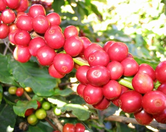 Arabian Coffee Tree Seeds, Coffea arabica - 25 Seeds
