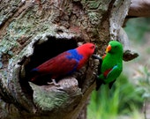 Pair Of Eclectus At The Nest/ Eclectus Male Parrot