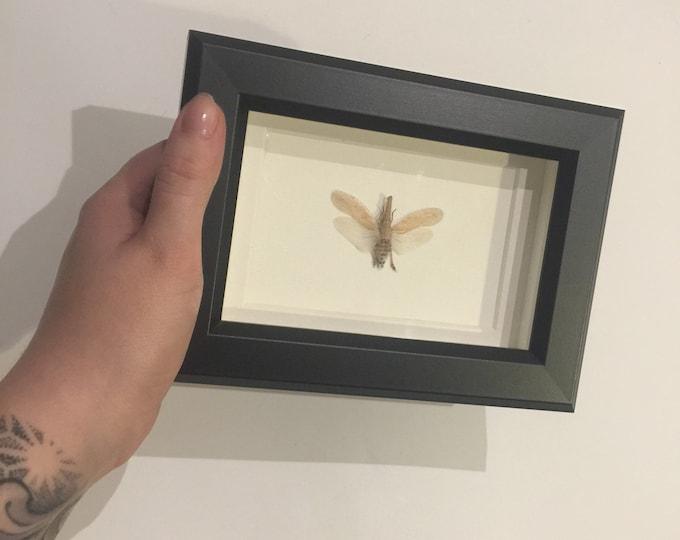 White lantern fly taxidermy display!