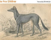 SALE Antique Original Hand Colored Steel Engraved 1843 Book Plate Print Jardine Naturalist Library Mammalia Canine Dog Egyptian Grey Hound #