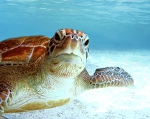 Close up Portrait of Endangered Green Sea Turtle - Sea Turtle Photo Collection - Large Wall Art - Ocean & Beach Decor - Blue Wall Decor