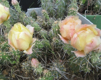 Cold Hardy Miniature Prickly Pear Opuntia Cactus Yellow Fade Peach Flowers!!!