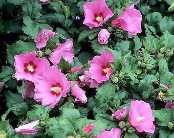 Aphrodite Hibiscus ( Althea ) - Rose Of Sharon - Live Plant - Quart Pot