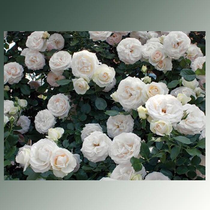 White Garden Rose Bush white eden ® climbing rose bush 100 petals hardy own root climber