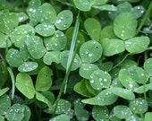 White Clover seeds, useful for orchards, weed control - Herb Garden Seeds