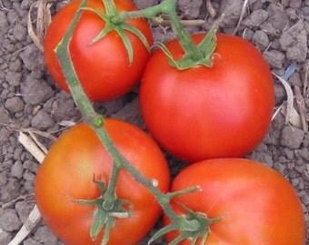 Tomato Plant, Thessaloniki
