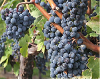 VINEYARD TYPE - Fragrance Oil - Delicious juicy grapes laced with light floral notes