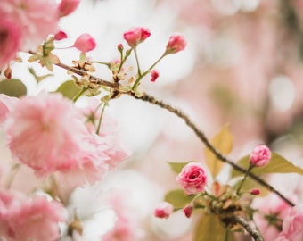 Nature Photography - Cherry Blossom Flowers - Fine Art Photo