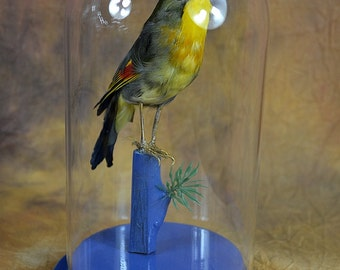 real bird taxidermy budgerigar with glass dome and wood base, birthday gift,display,free shipping world wide