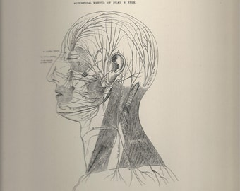 Superficial Nerves of Head and Neck,  Anatomical Plate 84, Descriptive Atlas of Anatomy 1880