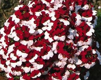 Nemesia Danish Flag * Red/White!! 25 seeds