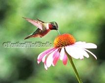 Ruby Throated Hummingbird | Purple Coneflower | Bird Photograph | Male Hummer | Pink Blooming Flower | Outdoor Nature Art | Hummer Art Print