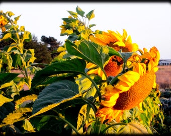 Sunflowers in the Wind, photo on polished aluminum