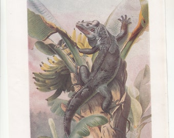 """C1920s Color Prints,Two Different Blacktailed Iguana And Chameleons Both 7.5"""" X 10"""""""