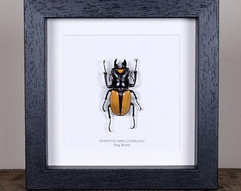 Stag Beetle in Box Frame (Lucanidae Odontolabis Ludekingi)