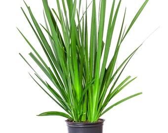 White African Iris, 1 gallon