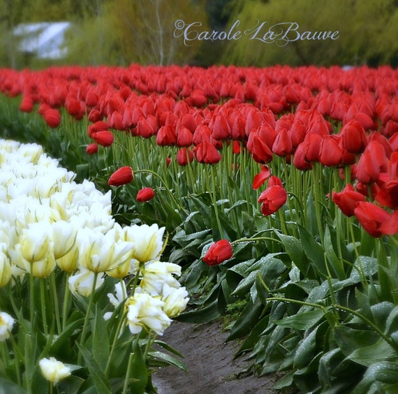 FIELD of RED TULIPS ~ Flower Photography ~ Botanical Wall Art ~ Nature Fine Art Photography ~ Tulip Festival ~ Square format