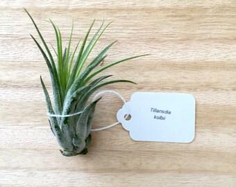 Tillandsia ionantha v. scaposa (kolbii) air plant