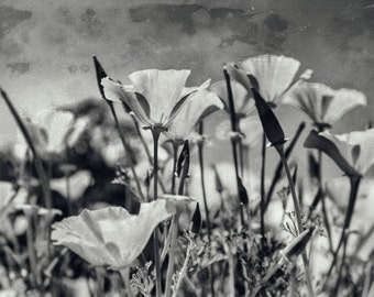 Poppy Print Black and White Photography - Nature Photo, Flower Picture Botanical Wall Art for Living Room - Floral California Poppies Decor