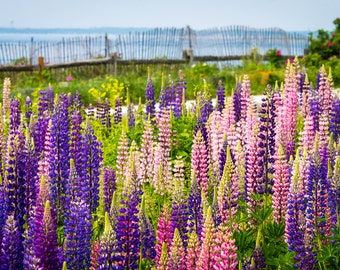 Lupins by the Sea